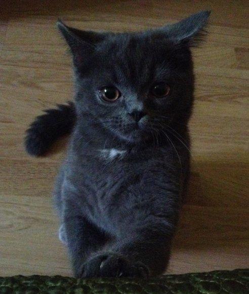 Dingo katinas