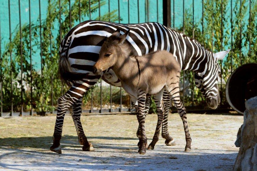 Asilo ir zebro hibridas šalia savo motinos