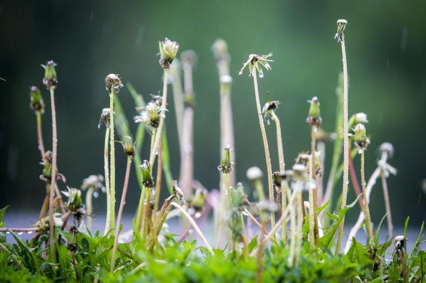 Lietus gaivina gamtą ir merkia praeivius