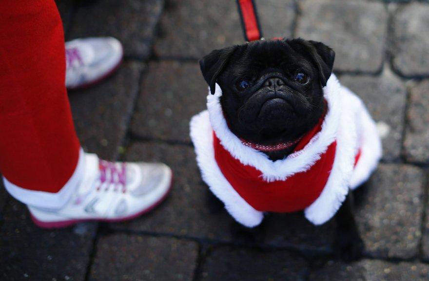 Kalėdų senelio kostiumu aprengtas šuo
