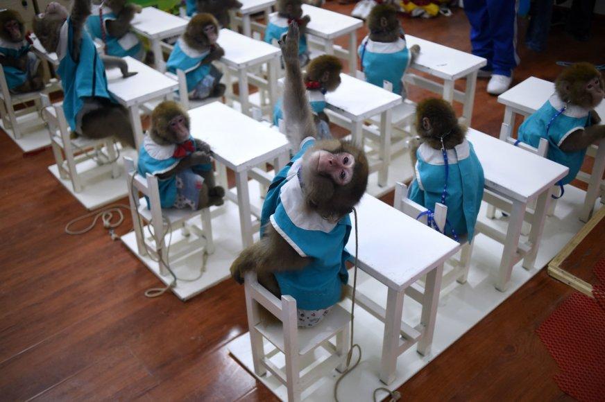 Beždžionių mokykla Kinijoje