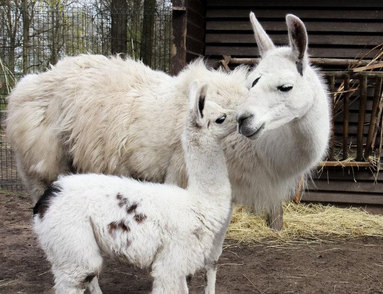 Lama Aistė su mama
