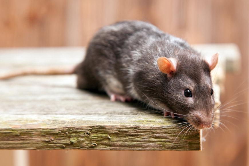 Žiurkė.