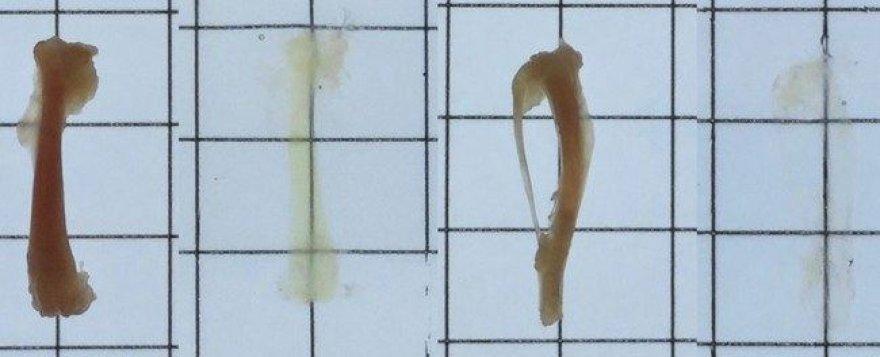 Pelės šlaunikaulis ir blauzdikaulis prieš ir po nuskaidrinimo