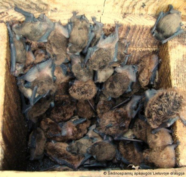 Natazijaus šikšniukai – mažieji šikšnosparniai, užaugantys iki 11 g.