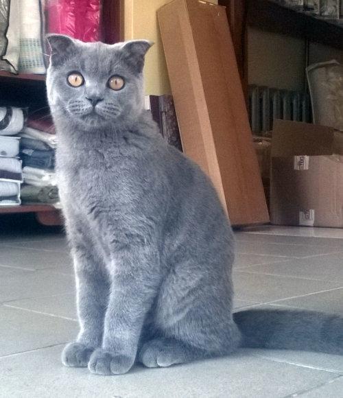 Pasiklydo pilkas škotų nulėpausis katinėlis