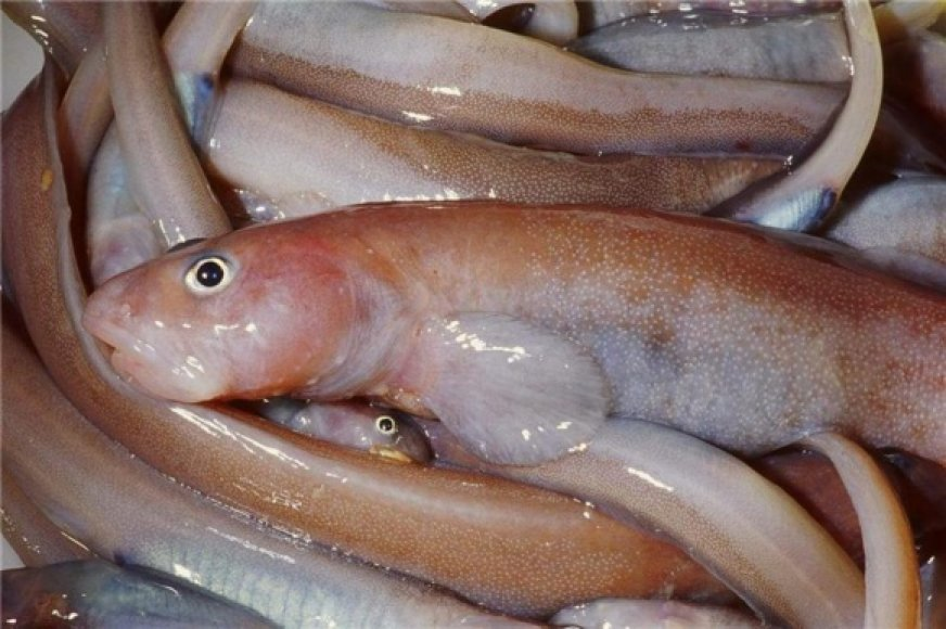 Antarkties žuvys