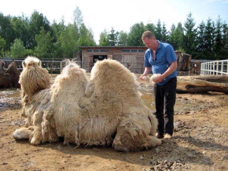 Užaugę dvikupriai kupranugariai sveria iki 690 kilogramų.