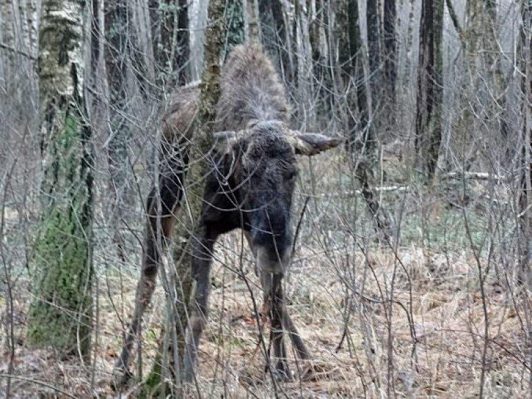 Pavargęs ir sustiręs briedis Šyšgirių miške