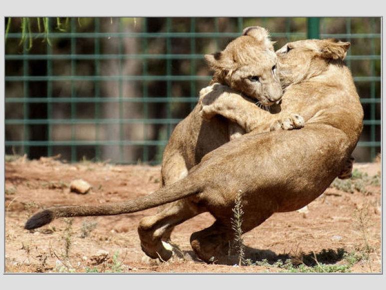 Gyvūnų karalius - liūtas