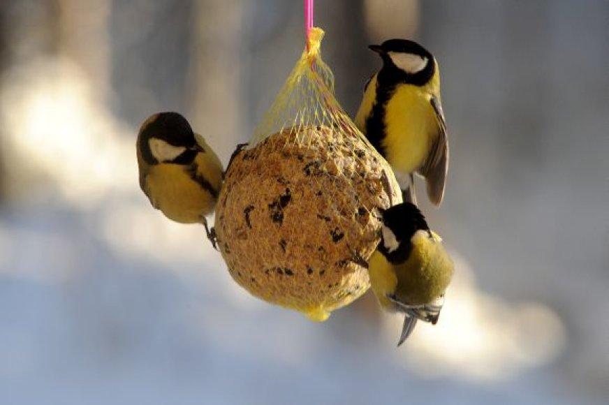 Paukščiai žiemą