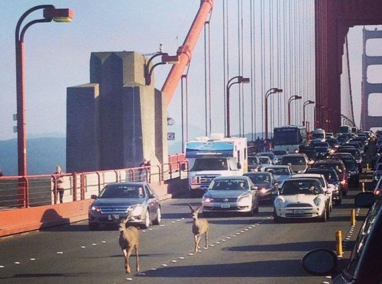 Elniai ant tilto