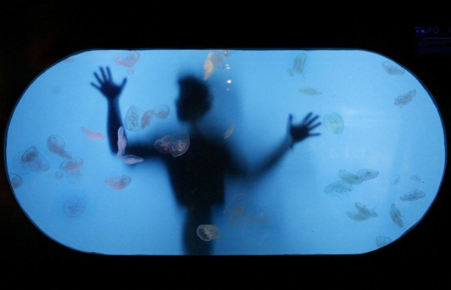 Akvariumo darbuotojas prižiūri medūzas
