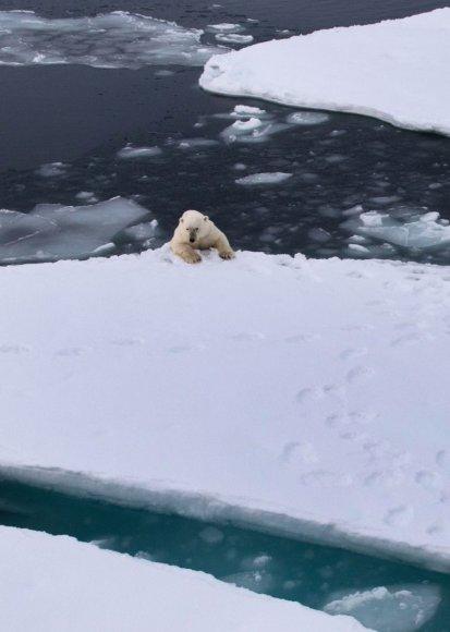 Tirpstantis Arkties ledas