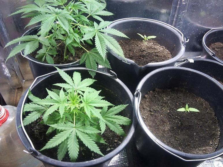Kanapių auginimo laboratorija