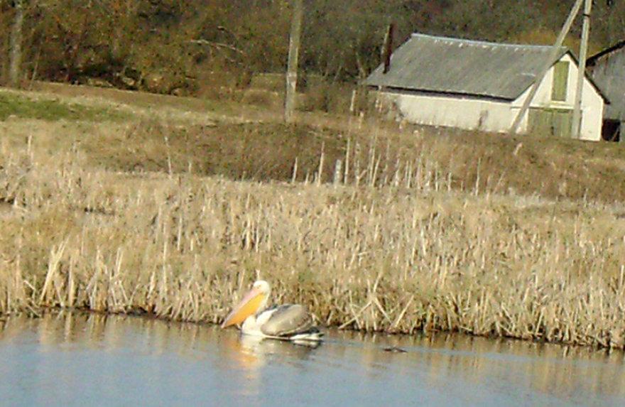 Pelikanas Aukštaitijoje