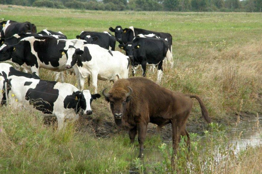 Baltarusijoje prie karvių bandos prisiplakė stumbras.