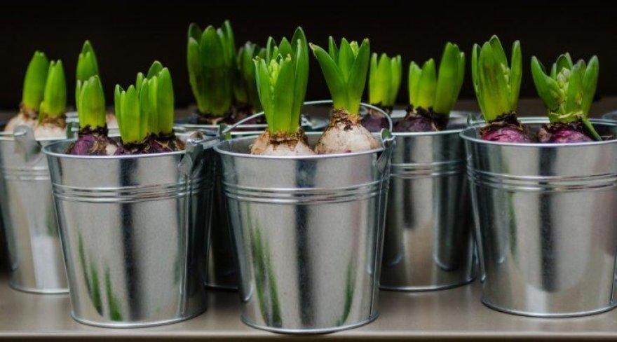 Svogūninės gėlės pavasarį