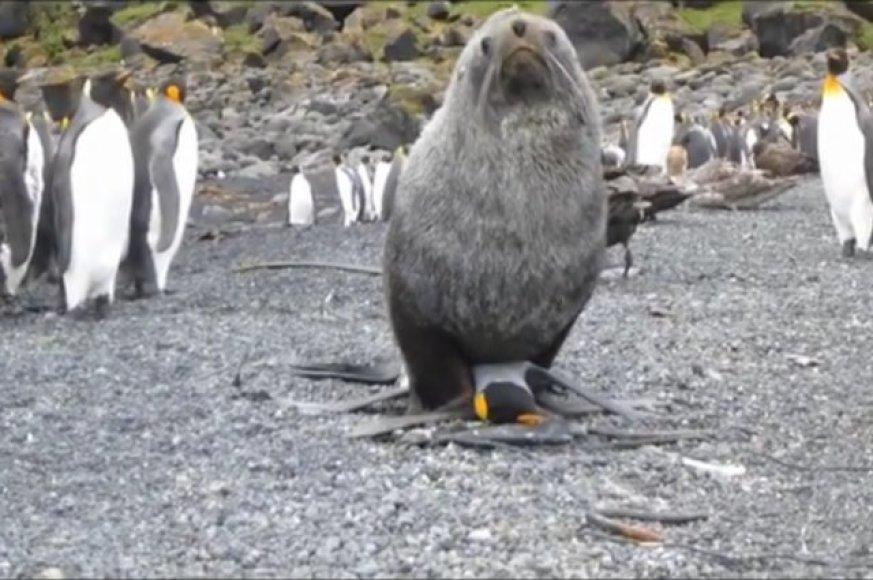 Užfiksuota, kaip ruonis prievartauja pingviną