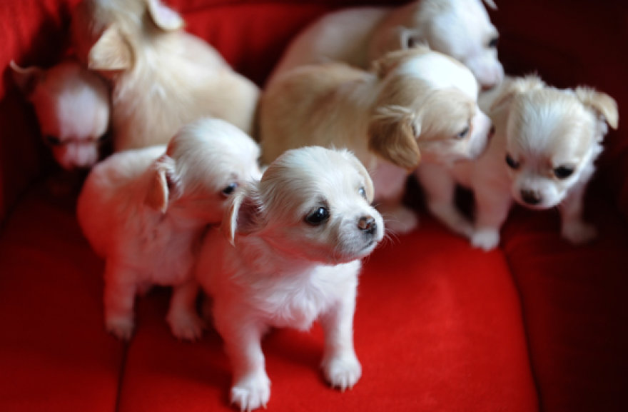 Čihuahua šuniukai
