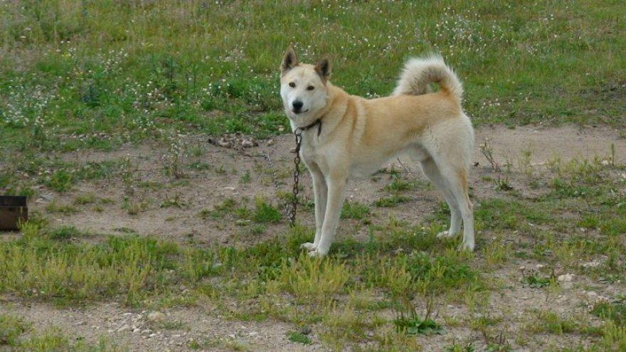 Šią Vakarų Sibiro laiką iš brakonierių kilpos išgelbėjo rūpestinga šeimininkė.