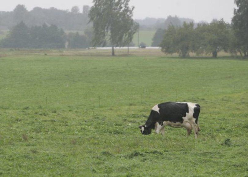 Karvė.