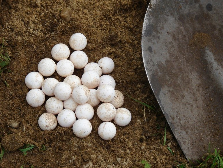 5 nuotrauka: Galapagų vėžlio kiaušiniai