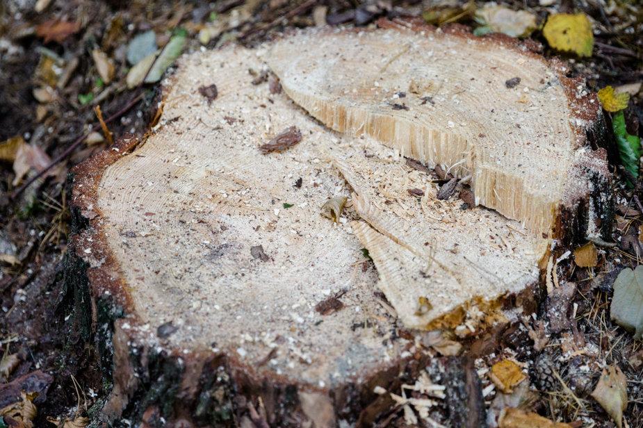 Josvydo Elinsko / 15min nuotr./Šviežiai nupjautas medis
