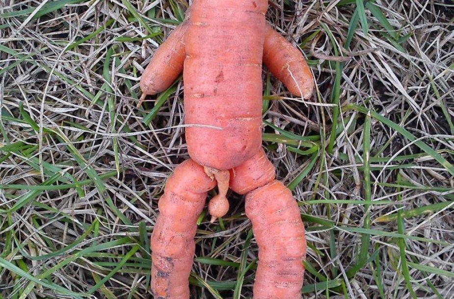Vytauto užauginta morka