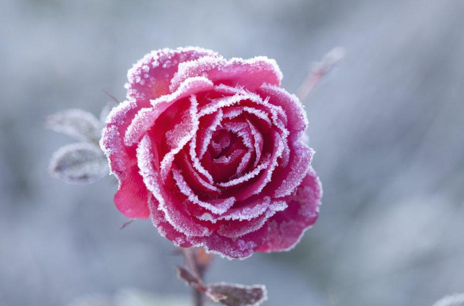 Apledėjusi rožė