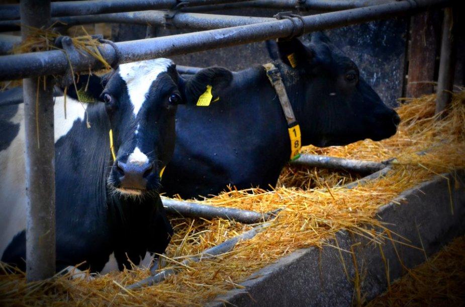 Ferma, kurioje auginamos mėsinės karvės