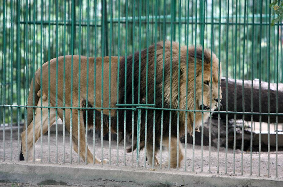 Liūtas Simba