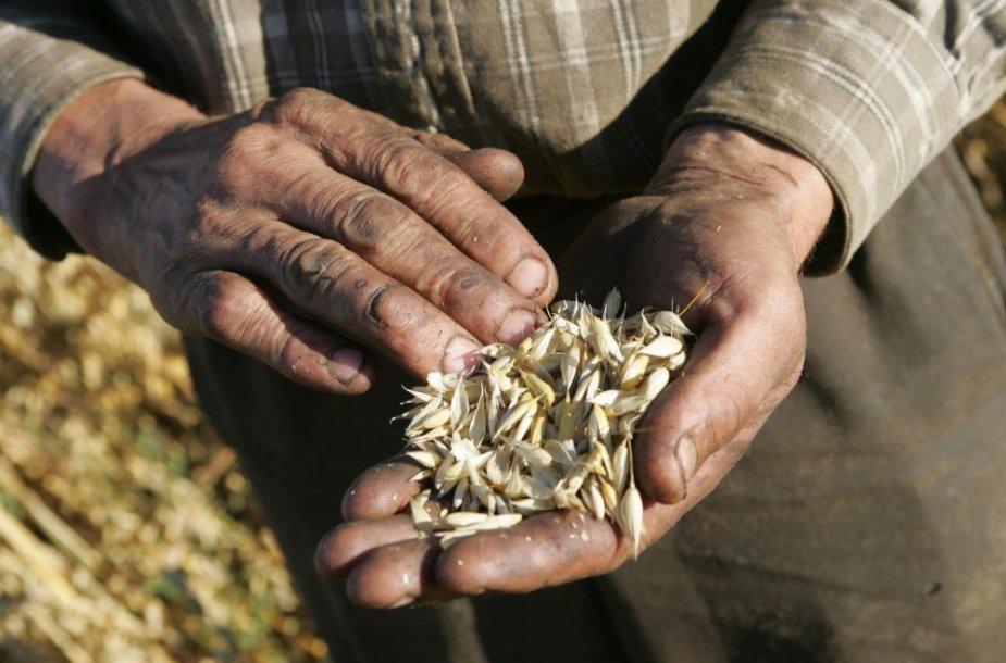 Šiemet grūdų kokybė nėra pati geriausia, bet ūkininkai nesiskundžia
