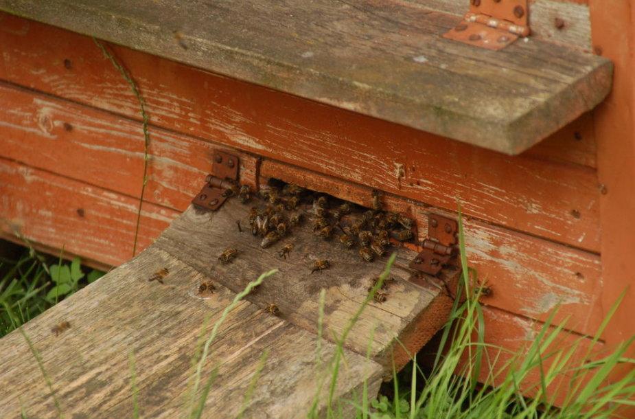 Darbštuolėmis tituluojamos bitės šį pavasarį sunešti medaus neskuba.