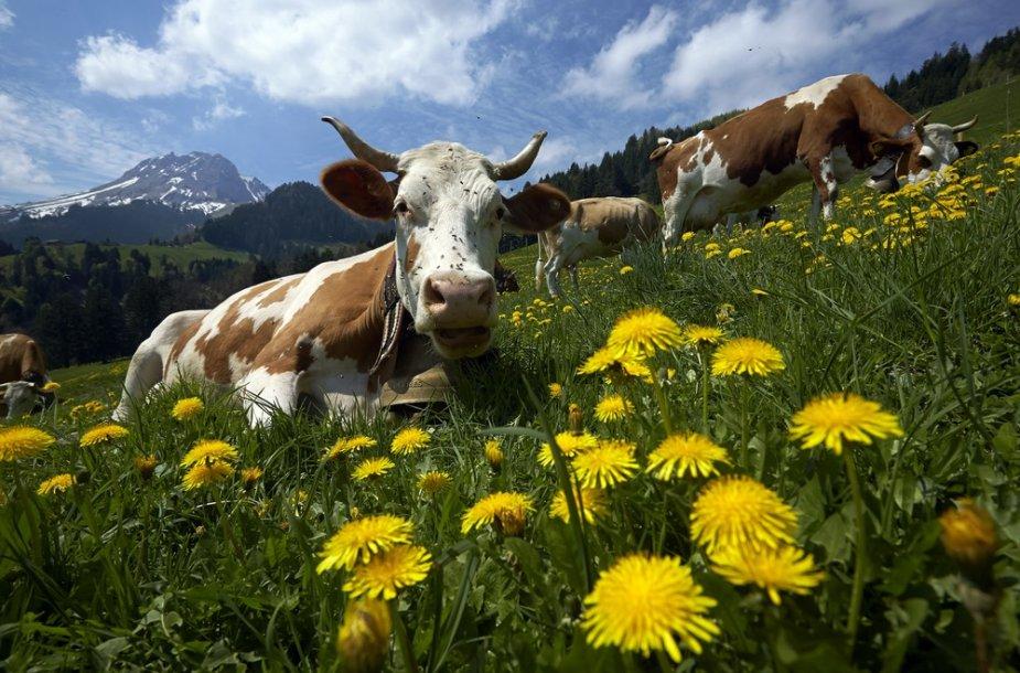 Karvės Šveicarijos kalnuose