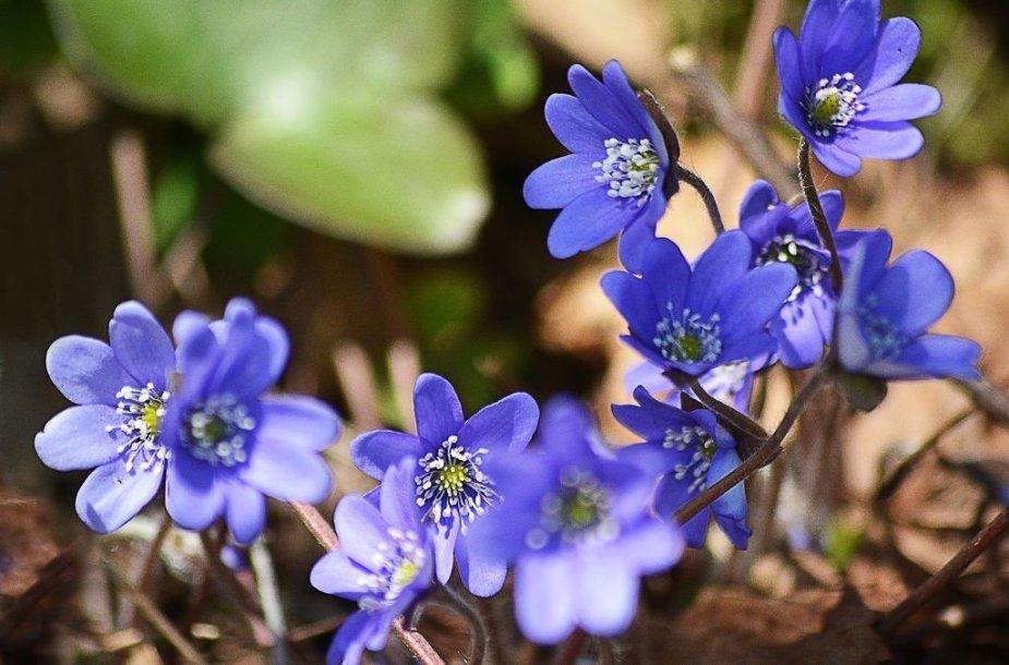 Pasigrožėkite: pavasaris skleidžiasi visu gražumu