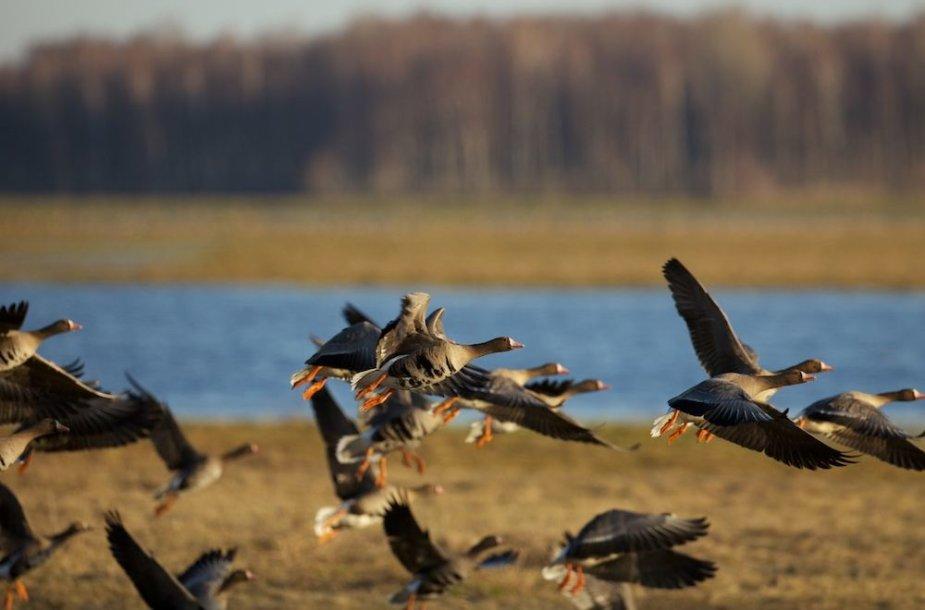 Paukščių migracija Nemuno Deltoje