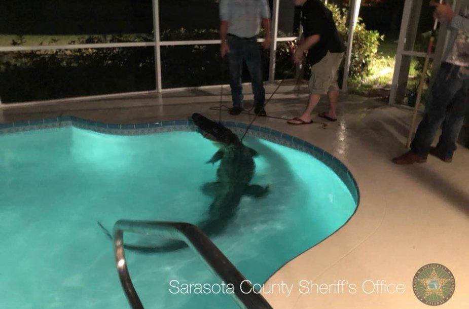 Aligatorius JAV užėmė šeimos baseiną
