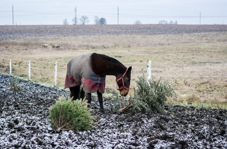 Nupuoštos žaliaskarės – geriau žirgams negu į atliekas