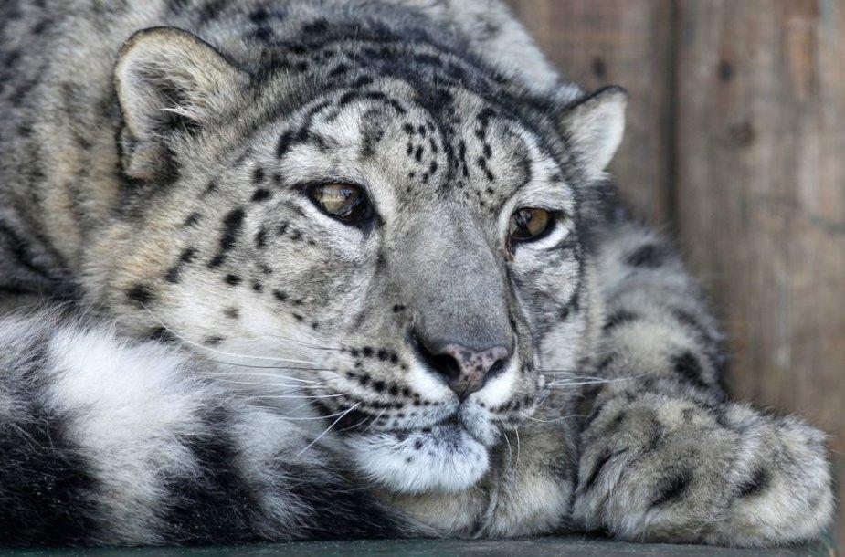 Snieginis leopardas Rusijos zoologijos sode