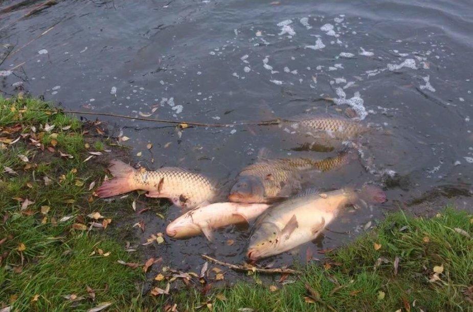 Žuvys Petraičių (Stačiūnų) tvenkinyje