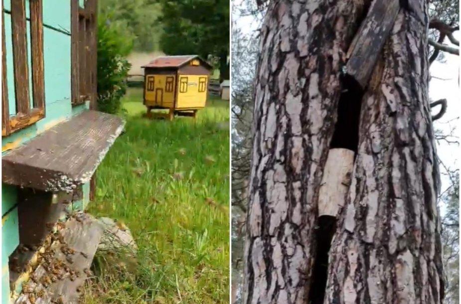 Bitės, drevė pušies kamiene