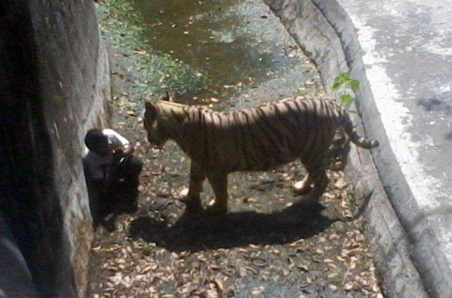 Baltasis tigras prie moksleivio