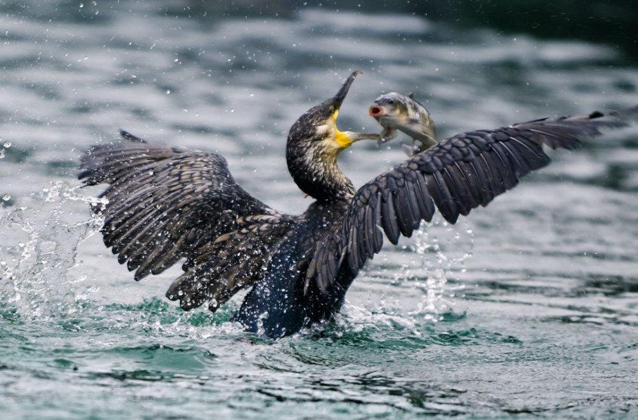 Didieji kormoranai žvejyboje