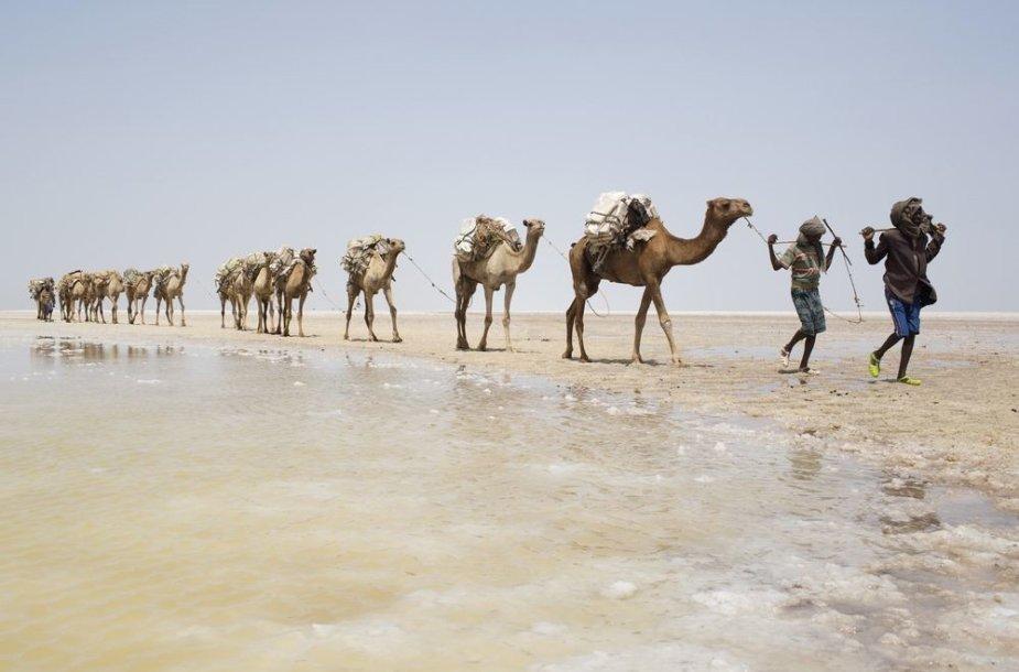 Per dykumą vedami kupranugariai