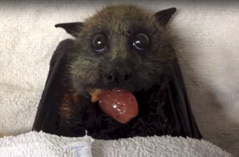 Šikšnosparnio patelė ėda vynuogę.