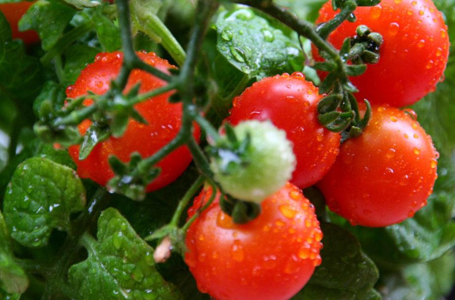 Vyšniniai pomidoriukai