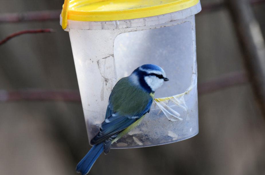Visą žiemą lankytą lesyklą prisiminė mėlynoji zylė