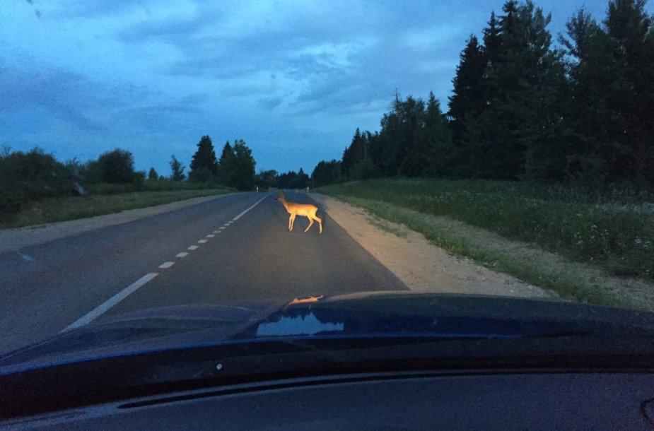 Laukinis gyvūnas ant kelio