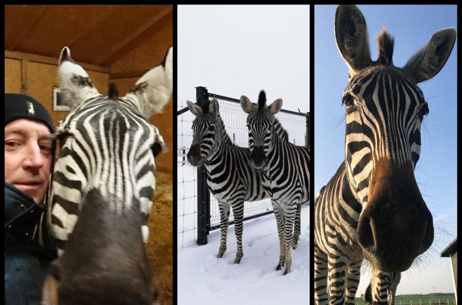 Raimondas Neverdauskas ir jo auginami zebrai